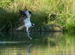 osprey-hide-rutland-copyright-photographers-on-safari-com-9517