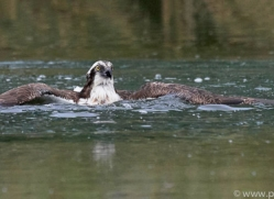 osprey-hide-rutland-copyright-photographers-on-safari-com-9520