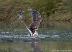 osprey-hide-rutland-copyright-photographers-on-safari-com-9522