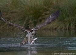 osprey-hide-rutland-copyright-photographers-on-safari-com-9529