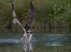 osprey-hide-rutland-copyright-photographers-on-safari-com-9532