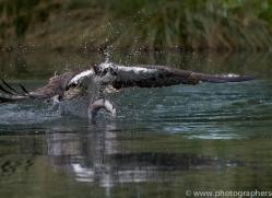 osprey-hide-rutland-copyright-photographers-on-safari-com-9533