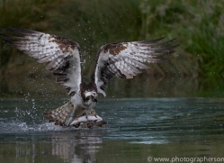 osprey-hide-rutland-copyright-photographers-on-safari-com-9534