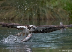 osprey-hide-rutland-copyright-photographers-on-safari-com-9535