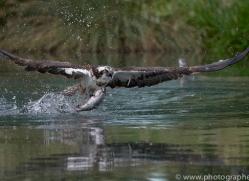 osprey-hide-rutland-copyright-photographers-on-safari-com-9536