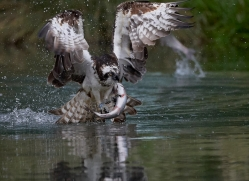 osprey-hide-rutland-copyright-photographers-on-safari-com-9537