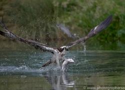 osprey-hide-rutland-copyright-photographers-on-safari-com-9538