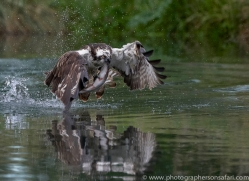osprey-hide-rutland-copyright-photographers-on-safari-com-9539