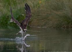 osprey-hide-rutland-copyright-photographers-on-safari-com-9543