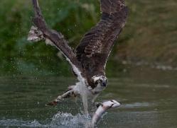 osprey-hide-rutland-copyright-photographers-on-safari-com-9544