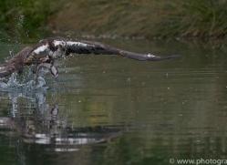 osprey-hide-rutland-copyright-photographers-on-safari-com-9545