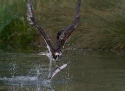 osprey-hide-rutland-copyright-photographers-on-safari-com-9546