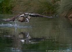osprey-hide-rutland-copyright-photographers-on-safari-com-9547