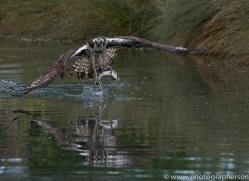 osprey-hide-rutland-copyright-photographers-on-safari-com-9549