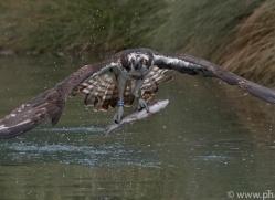 osprey-hide-rutland-copyright-photographers-on-safari-com-9551