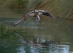 osprey-hide-rutland-copyright-photographers-on-safari-com-9553