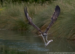 osprey-hide-rutland-copyright-photographers-on-safari-com-9554