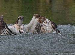 osprey-hide-rutland-copyright-photographers-on-safari-com-9563
