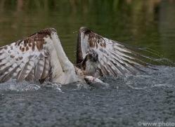 osprey-hide-rutland-copyright-photographers-on-safari-com-9564