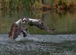 osprey-hide-rutland-copyright-photographers-on-safari-com-9566