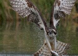 osprey-hide-rutland-copyright-photographers-on-safari-com-9567