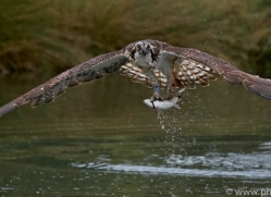 osprey-hide-rutland-copyright-photographers-on-safari-com-9570