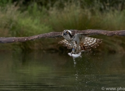 osprey-hide-rutland-copyright-photographers-on-safari-com-9572