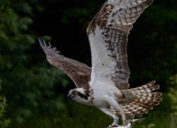 osprey-hide-rutland-copyright-photographers-on-safari-com-9577