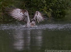 osprey-hide-rutland-copyright-photographers-on-safari-com-9579
