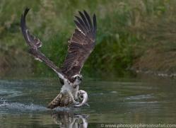 osprey-hide-rutland-copyright-photographers-on-safari-com-9581