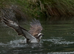 osprey-hide-rutland-copyright-photographers-on-safari-com-9591