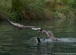 osprey-hide-rutland-copyright-photographers-on-safari-com-9596