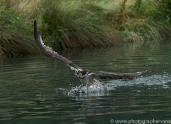 osprey-hide-rutland-copyright-photographers-on-safari-com-9598
