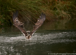 osprey-hide-rutland-copyright-photographers-on-safari-com-9600