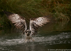 osprey-hide-rutland-copyright-photographers-on-safari-com-9601