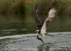 osprey-hide-rutland-copyright-photographers-on-safari-com-9605