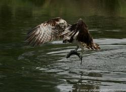 osprey-hide-rutland-copyright-photographers-on-safari-com-9609