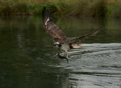 osprey-hide-rutland-copyright-photographers-on-safari-com-9610