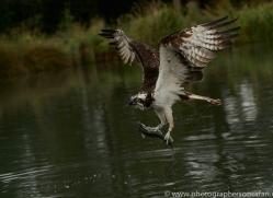 osprey-hide-rutland-copyright-photographers-on-safari-com-9615