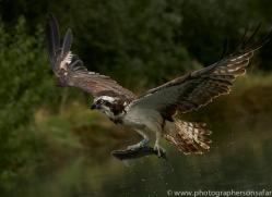 osprey-hide-rutland-copyright-photographers-on-safari-com-9618