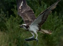 osprey-hide-rutland-copyright-photographers-on-safari-com-9619