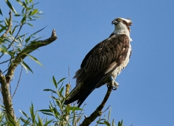 osprey-hide-rutland-copyright-photographers-on-safari-com-9622