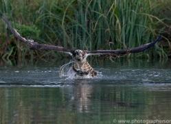 osprey-hide-rutland-copyright-photographers-on-safari-com-9625