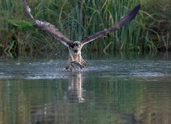 osprey-hide-rutland-copyright-photographers-on-safari-com-9627