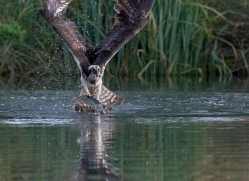 osprey-hide-rutland-copyright-photographers-on-safari-com-9628
