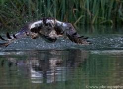 osprey-hide-rutland-copyright-photographers-on-safari-com-9629