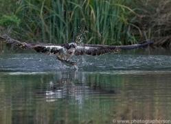 osprey-hide-rutland-copyright-photographers-on-safari-com-9631