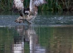 osprey-hide-rutland-copyright-photographers-on-safari-com-9632