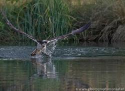 osprey-hide-rutland-copyright-photographers-on-safari-com-9633