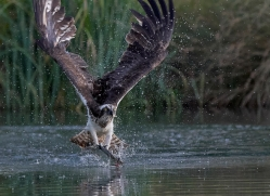 osprey-hide-rutland-copyright-photographers-on-safari-com-9634